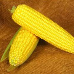 Семена кукурузы Мореленд F1, Syngenta 100 000 семян