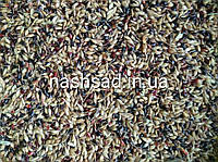 Суданка, трава суданская, семена суданки, кг