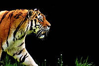 "Фотообои бумажные ""Тигр"""