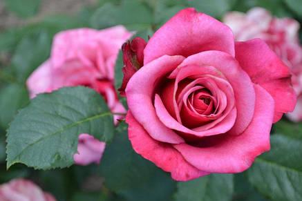 Роза  Амалия (Amaliа) Ч/Г, фото 2
