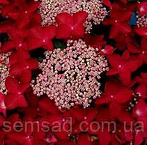 Гортензия крупнолистная  Теллер Ред  \ Hortensia macrophylla Teller Red ( саженцы ) Новинка, фото 2