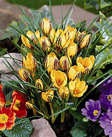 Крокус ботанический Gipsy Girl (5 шт)