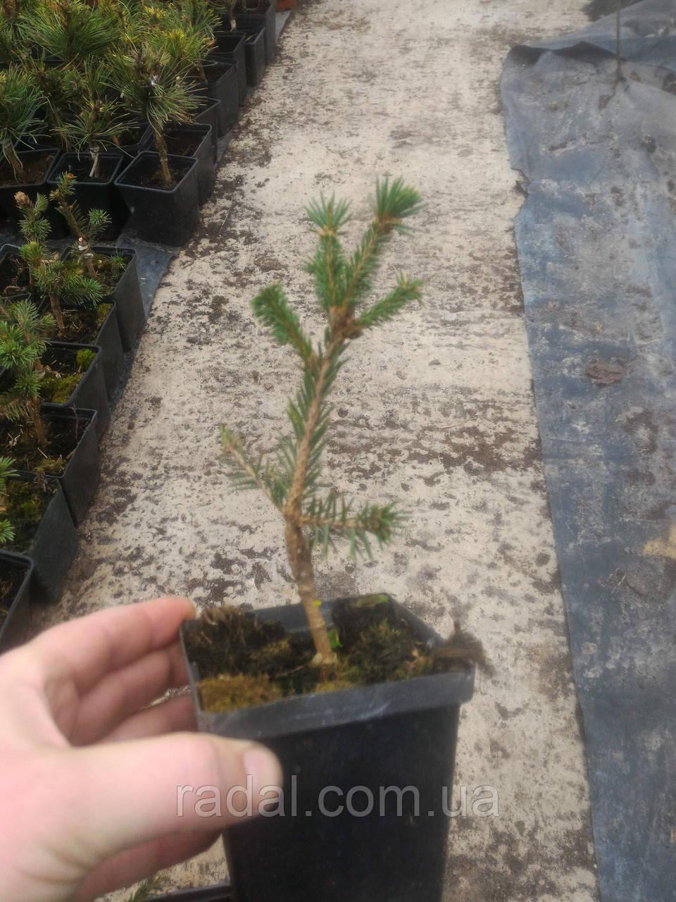 ель обыкновенная акрокона пуш р9 Picea Abies Acrocona Pusch