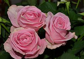 Роза Аква Ч/Г, фото 2