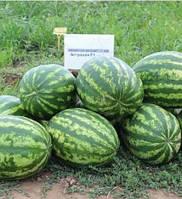 Астрахан F1 - семена арбуза, Syngenta, фото 1