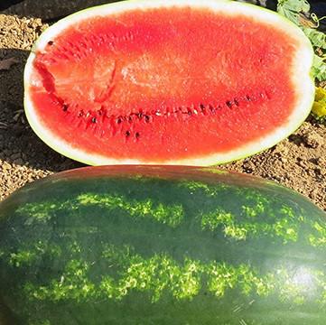 Мирсини F1 - семена арбуза, Syngenta