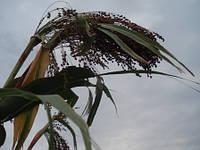 Семена сорго веничного Карликовое 45, 90-100 дней