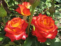 Роза Высший Свет Ч/Г