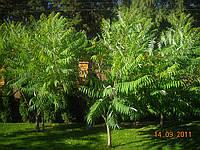 Пересадка крупномеров больших деревьев. ландшафт.