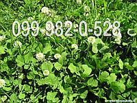 Клевер белый. 399грн/кг Акция! ЛЕТНЯЯ цена Газон.Семена для сада. Дешевле некуда микроклевер