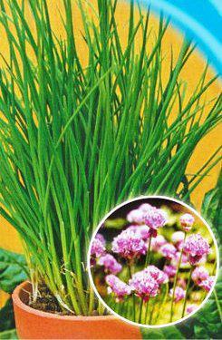 Семена лука на зелень Шнитт (многолетний, тонкое перо)