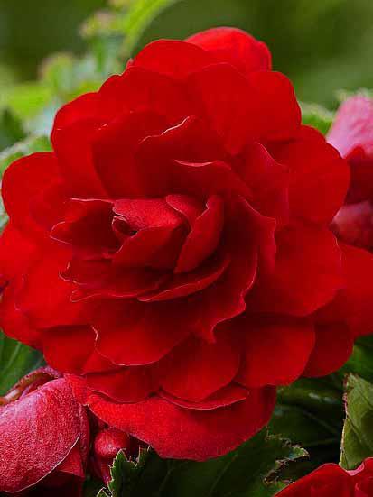 """Клубни бегонии полной красной """"Grandiflora Red"""", 1 шт"""