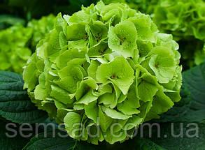 Гортензия крупнолистная Эмеральд Классик \Hydrangea Emerald classic  ( саженец 1.л) Новинка , фото 2