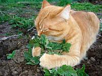 Котовник лимонный (трава для котов, кошачья мята) 0.5г