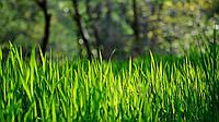 Насіння газонної трави Універсальна 20г