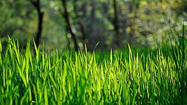 Семена газонной травы Универсальная 20г