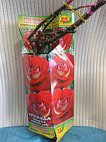 Саженцы розы  New Fashion (Нью Фешн)