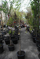 Сакура Кику-Шидаре (Prunus serrulata Kiku-Shidare) штамб 200 см обхват 10 см