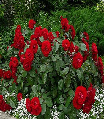 Троянда грунтопокривна червона