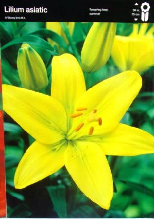 Лілія азіатська жовта упаковка 2шт