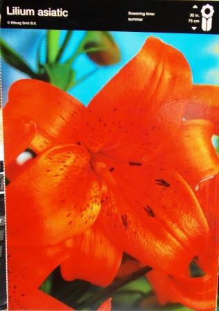 Лілія азіатська оранжева упаковка 2шт