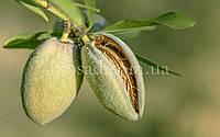 Миндаль плодовый сладкий АНТИК