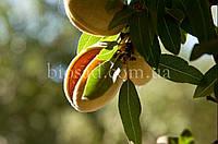 Миндаль плодовый сладкий ДЕЛОН