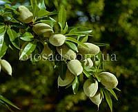 Миндаль плодовый сладкий МИЛАС, фото 1