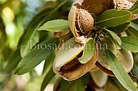 Миндаль плодовый сладкий НОНПАРЕЛЬ (Nonpareil)