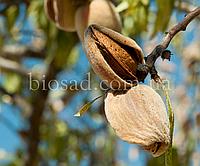 Миндаль плодовый сладкий ТУОНО (Tuono)