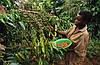 Угандийский кофе со вкусом дикой африканской природы