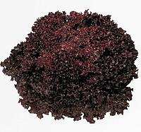 РЕВОЛЮЦИЯ / REVOLUTION - салат листовой, Nunhems 5000 драже