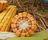 Семена  Кукурузы MV 251, фото 2
