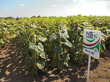Семена подсолнечника НС Х 195 (НС Адмирал) Экстра класический п. в. 109 - 150000 сем.