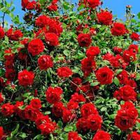 Роза парковая Торнадо