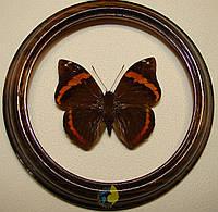 Сувенир - Бабочка в рамке Opsiphanes quiteria quiteria. Оригинальный и неповторимый подарок!