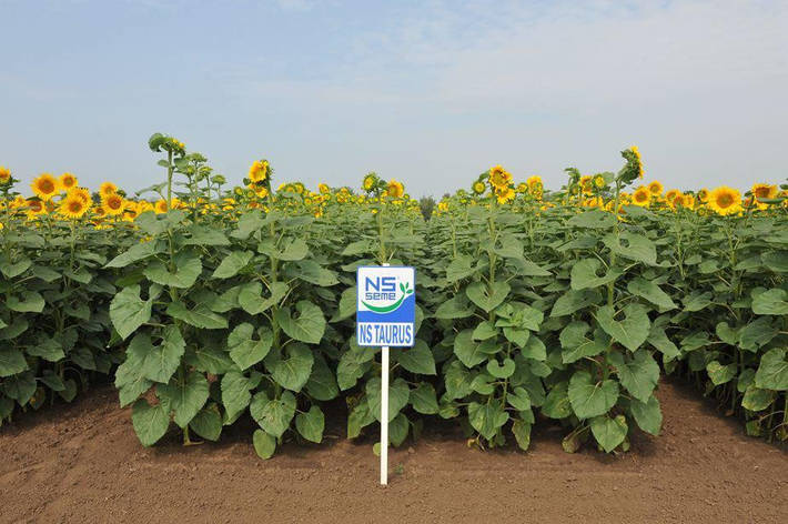 Семена Подсолнечника Таурус Экстра Clearfield (Евролайтинг), высокоурожайный + стойкий к болезням-150000 семян, фото 2
