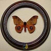Сувенир - Бабочка в рамке Automeris hamata. Оригинальный и неповторимый подарок!