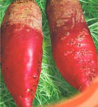 Семена свеклы кормовой Киевская розовая