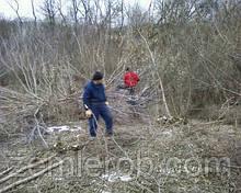 Срез омелы в Харькове и области