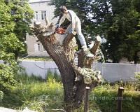 Удаление омелы в Харькове и области, фото 1