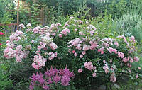 Роза Зе Фейри почвопокровная