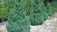 Можжевельник китайский, «Блю Поинт»  Juniperus chinensis 'Blue Point'