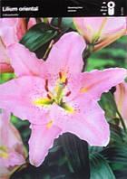 Лілія орієнтальна рожева (2шт/уп)