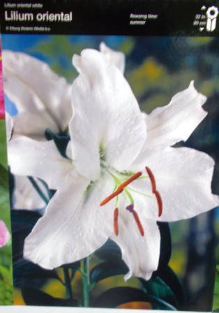Лілія орієнтальна біла (2шт/уп)