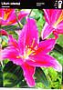 Лілія орієнтальна темно рожева (2шт/уп)