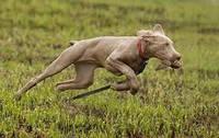 Выбор охотничьей собаки.