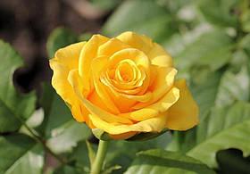 Роза Керио (Kerio) ч/г, фото 2