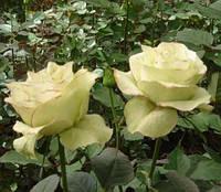 Роза Киви