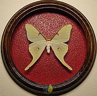 Сувенир - Бабочка в рамке Actias luna m. Оригинальный и неповторимый подарок!, фото 1